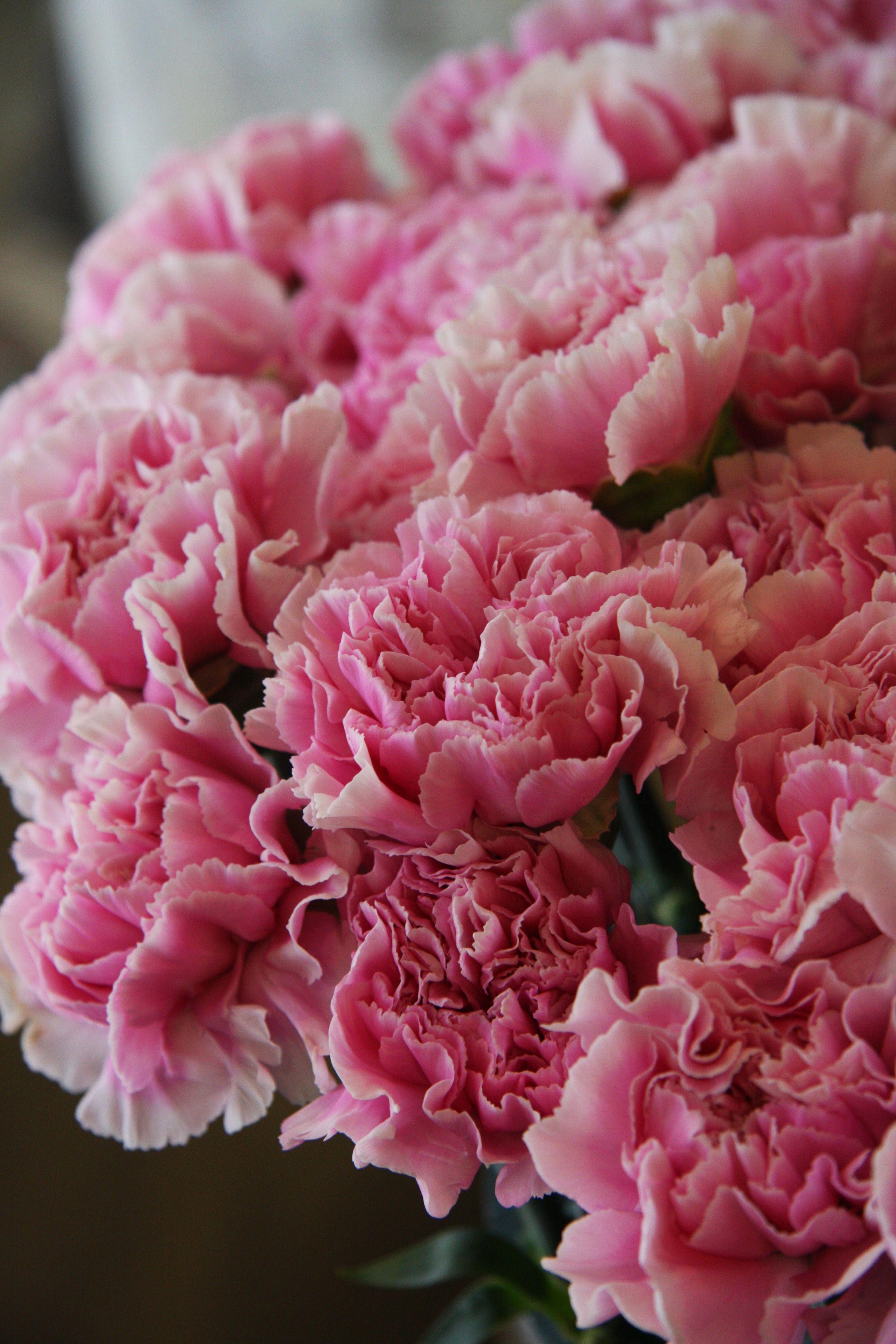 Carnation Strawberry Milk Carnation Flower Carnations Carnation Colors