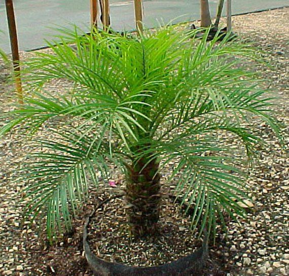 Tropical Pygmy Palms If Your Concern That A Taller Palm