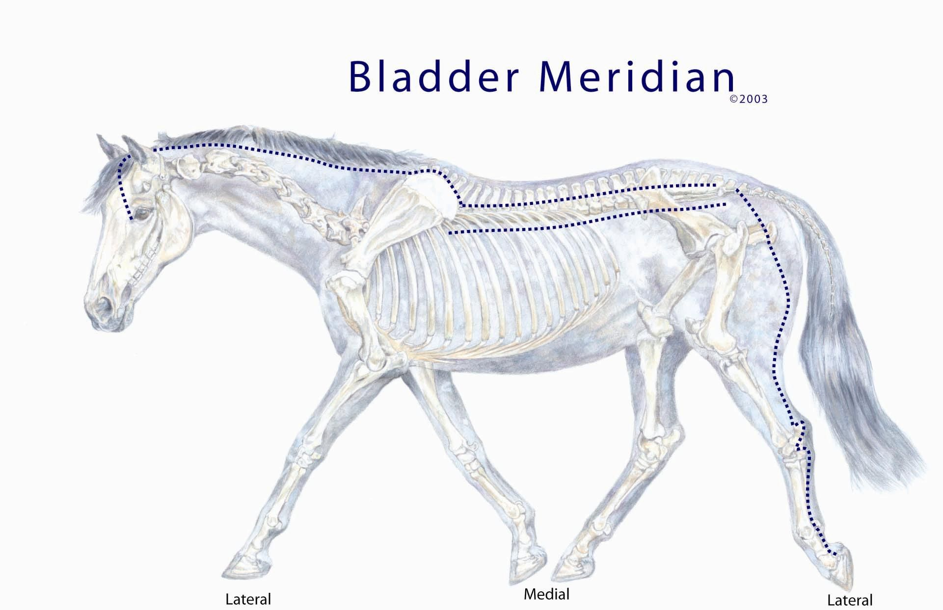 equine meridian chart   ACUPRESSURE- Alternative/Natural Therapy for ...