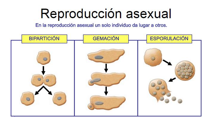 Como se logra la reproduccion asexual en el ser humano