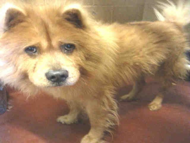 Chow Chow Dog For Adoption In Atlanta Ga Adn 724669 On