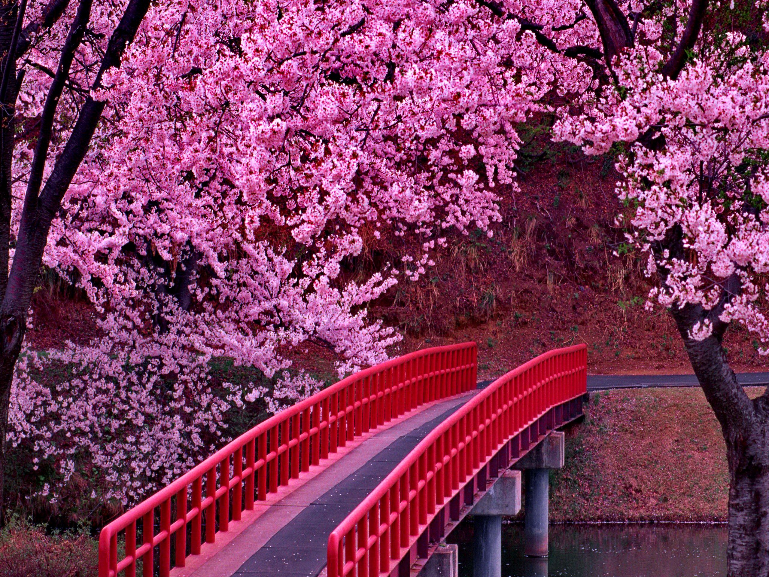 Japanese Foto Blossom Festivall Free Download Wallpapers Cherry