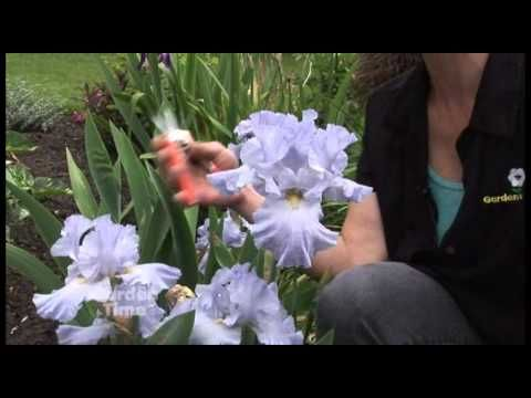 How To Deadhead An Iris Irises Are Reliable Perennial Plants That Deliver Beautiful Flowers Year After Year They Favor Sun But In 2020 African Iris Iris Garden Iris