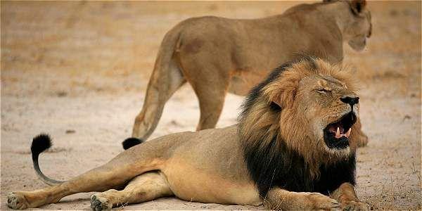 Cecil era un león de melena negra de Zimbabue