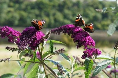 How To Propagate Butterfly Bushes From Cuttings Seeds And Root Division Butterfly Plants Butterfly Bush Grow Butterflies