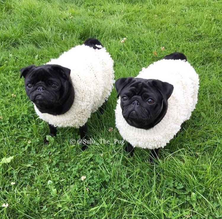 Pugs In Sheep Clothing Baby Pugs Cute Pugs