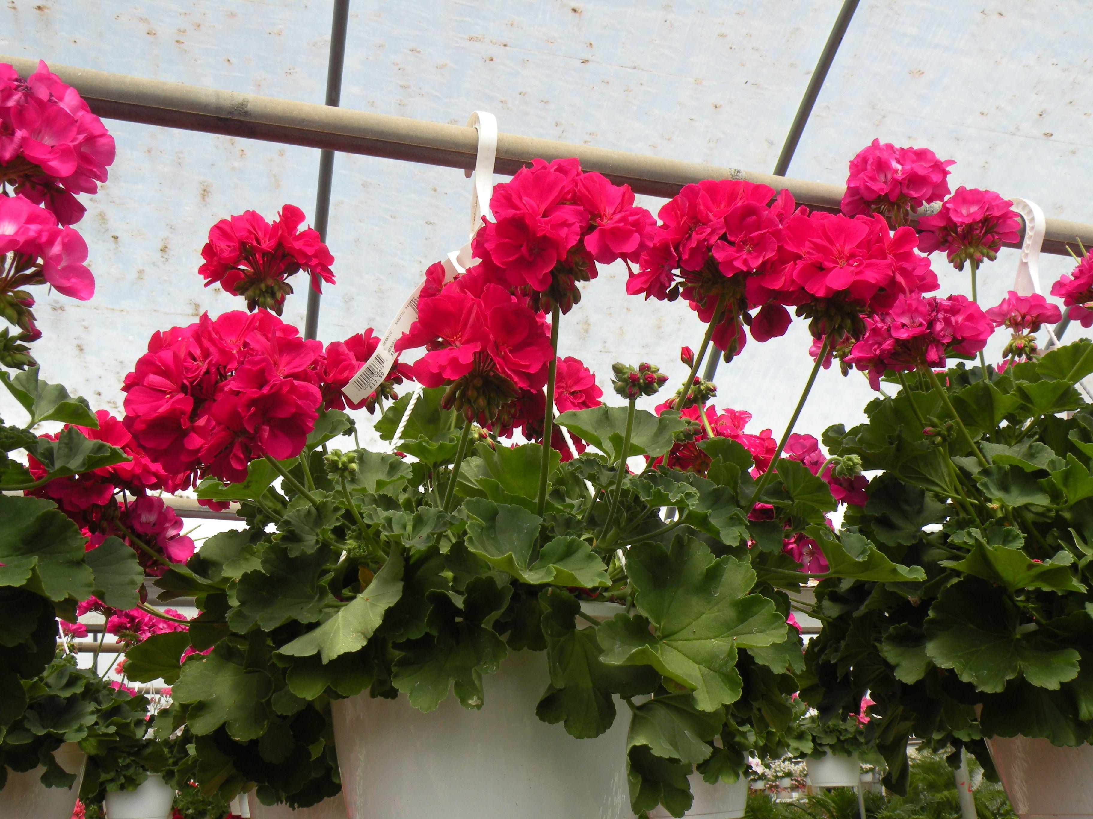 hanging geranium baskets