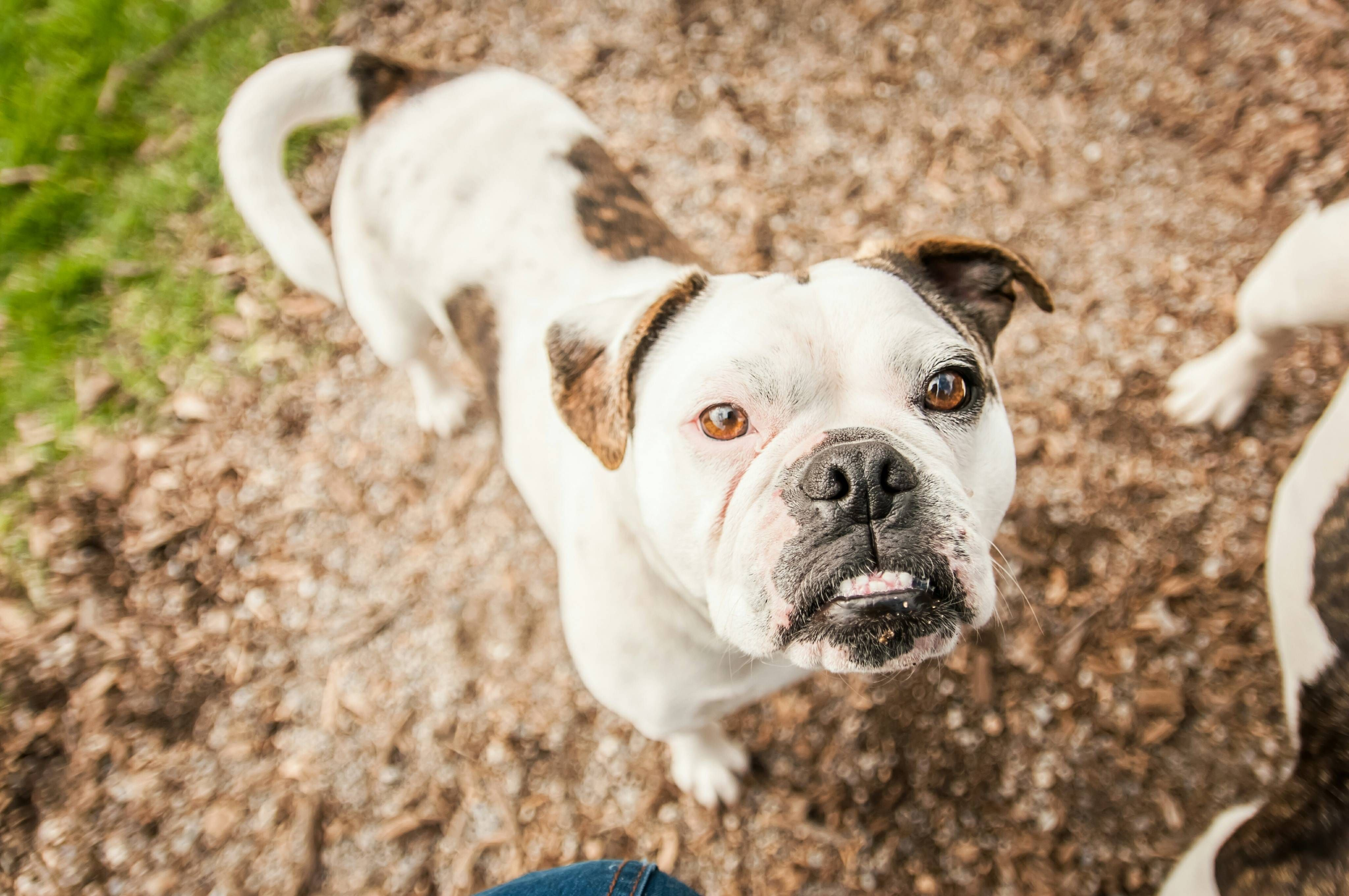 The Pawsome Franky Franky Is 2 5 Year Old Mini Australian Bulldog She Is A Very Kind Dog And Always Shows Her L French Bulldog Puppies Dogs Australian Bulldog