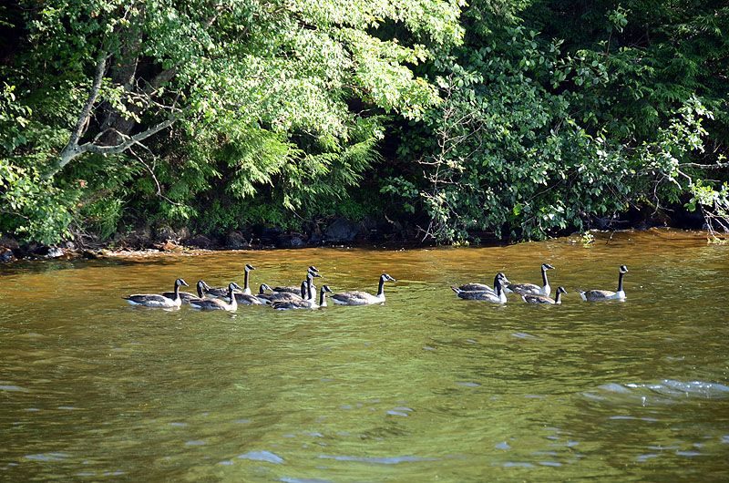 Flock of geese parading around Lake Namakagon Wildlife