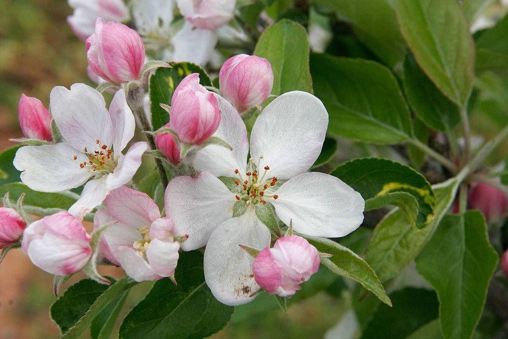 Народного единства, картинки яблоневый цвет