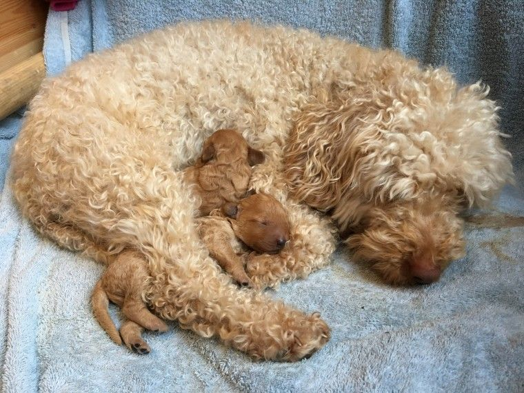 Red poodle puppies for sale uk