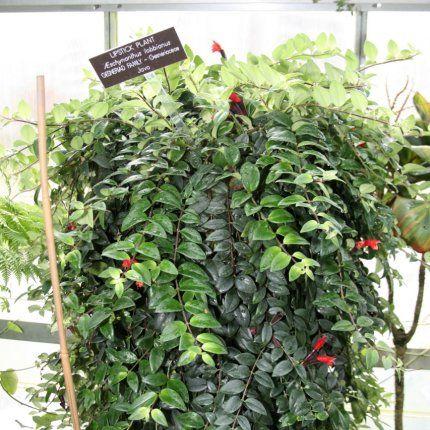 quelles plantes d 39 int rieur retombantes choisir plantes retombantes pinterest plante. Black Bedroom Furniture Sets. Home Design Ideas