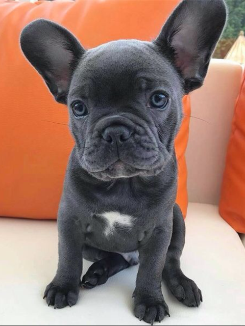 Blue French Bulldog Puppy In 2020 Bulldog Puppies Blue French Bulldog Puppies French Bulldog Blue