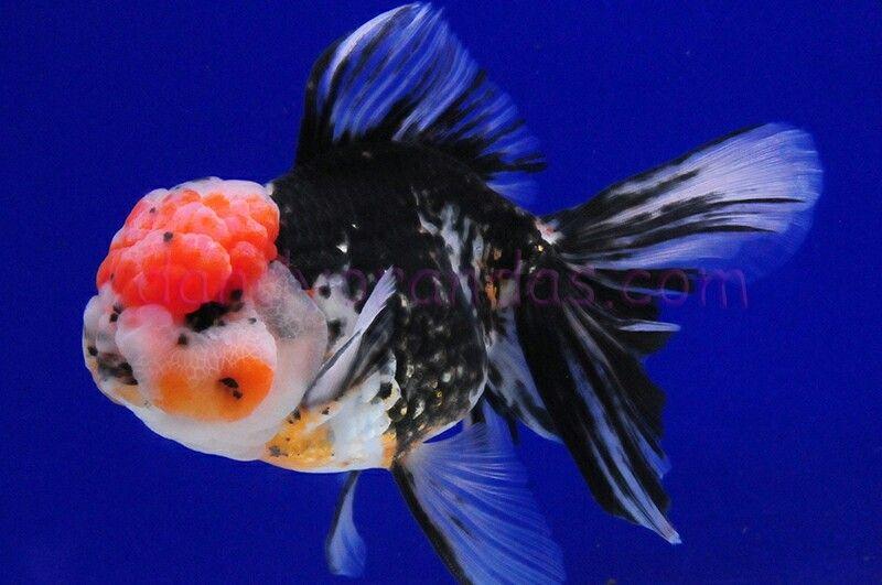 Pin On Oranda Goldfish