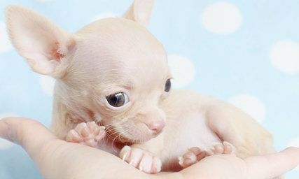 Tiny Teacup Chihuahua Puppies For Sale In South Florida