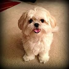 Maltese Shih Tzu Mix Google Search Maltese Shih Tzu