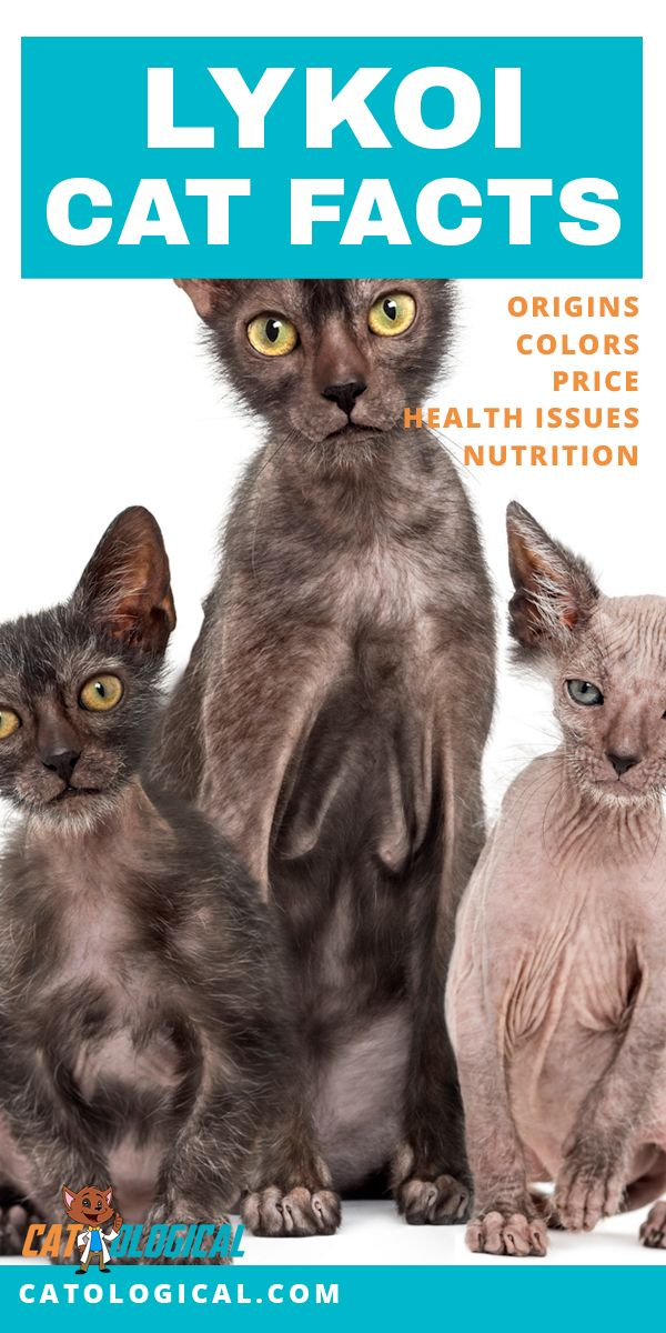 Learn some amazing facts about Lykoi cats and kittens