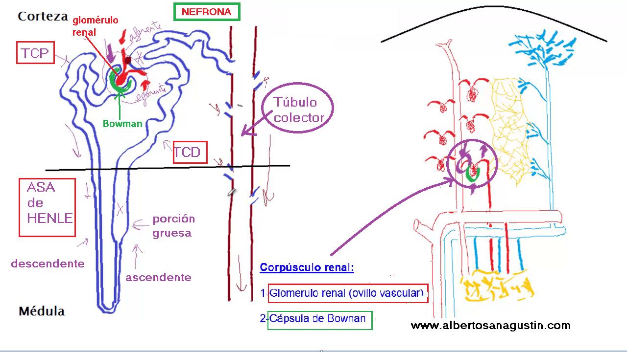 Nefrona y Circulación Renal (anatomía | Anatomía, Ciencia y Aparatos
