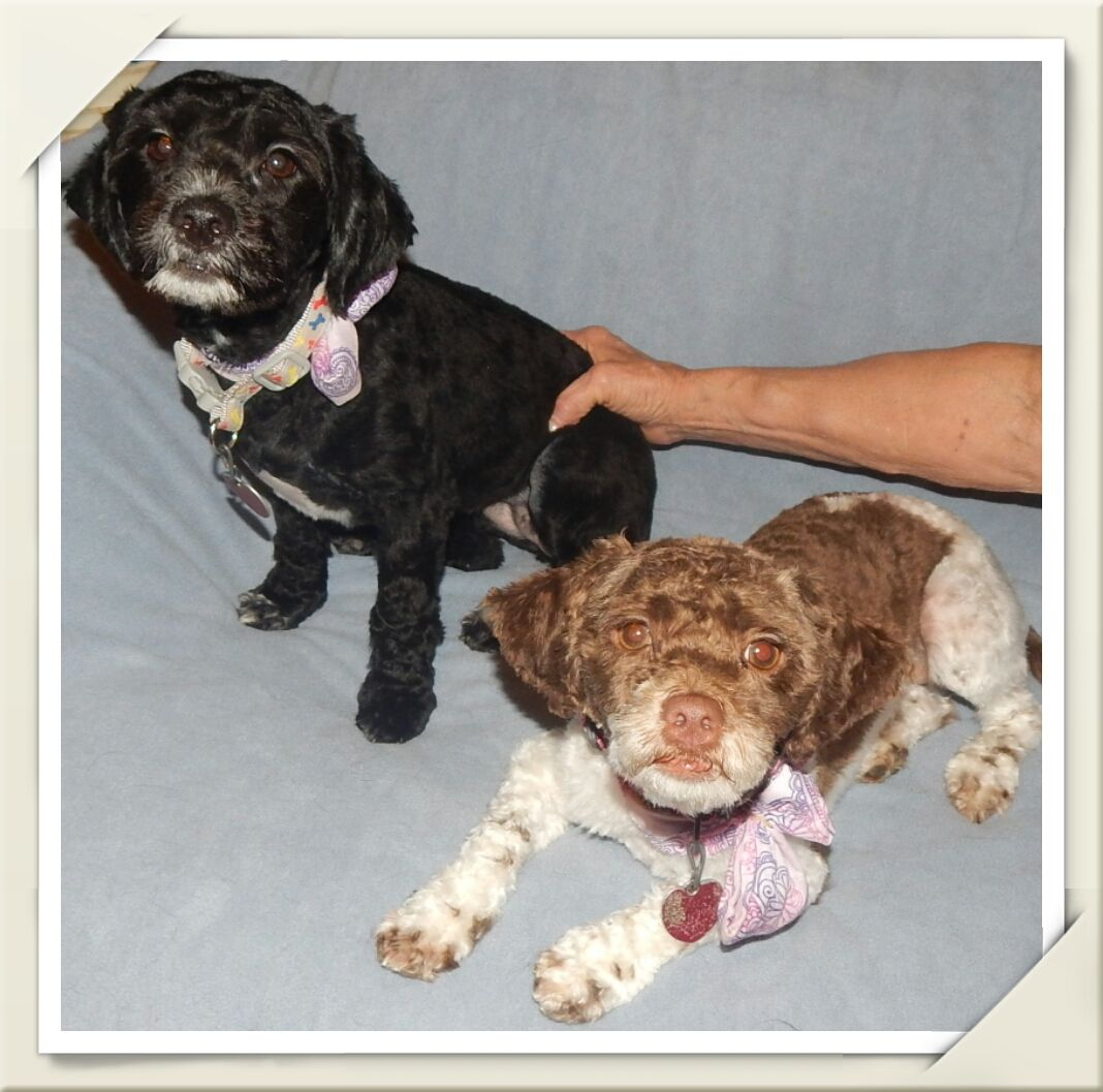 Lhasa apso dog for adoption in holden mo adn472790 on