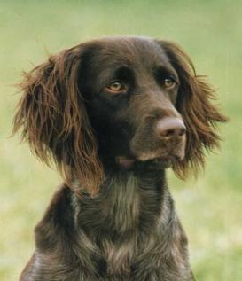 kleine munsterlander (Heidewachtel) Dog breeds