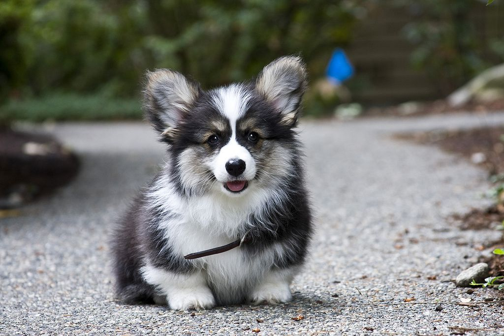 A Fluffy Didn T Know They Came With More Hair Than A Regular Ha Corgi Dog Cute Dogs Corgi