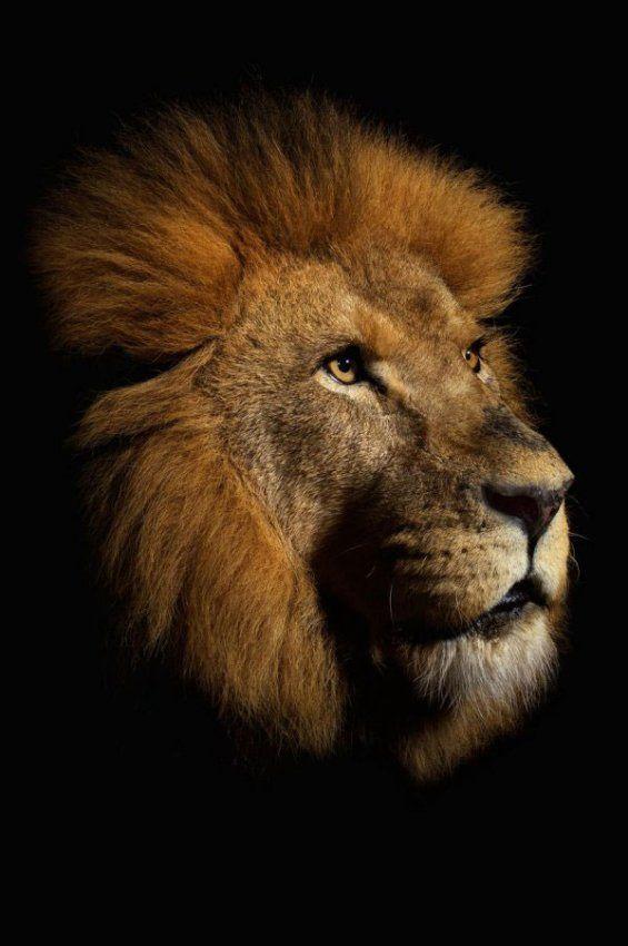 Рисунки аву, картинки животные тигры львы