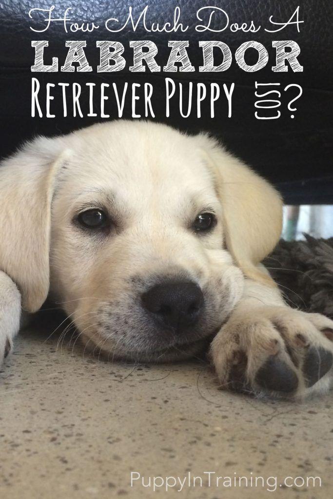 How Much Does A Labrador Retriever Puppy Cost Labrador