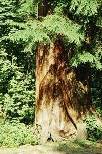 How To Make A Cedar Smudge Stick : cedar, smudge, stick, Cedar, Smudge, Stick, Trees,, Plants,