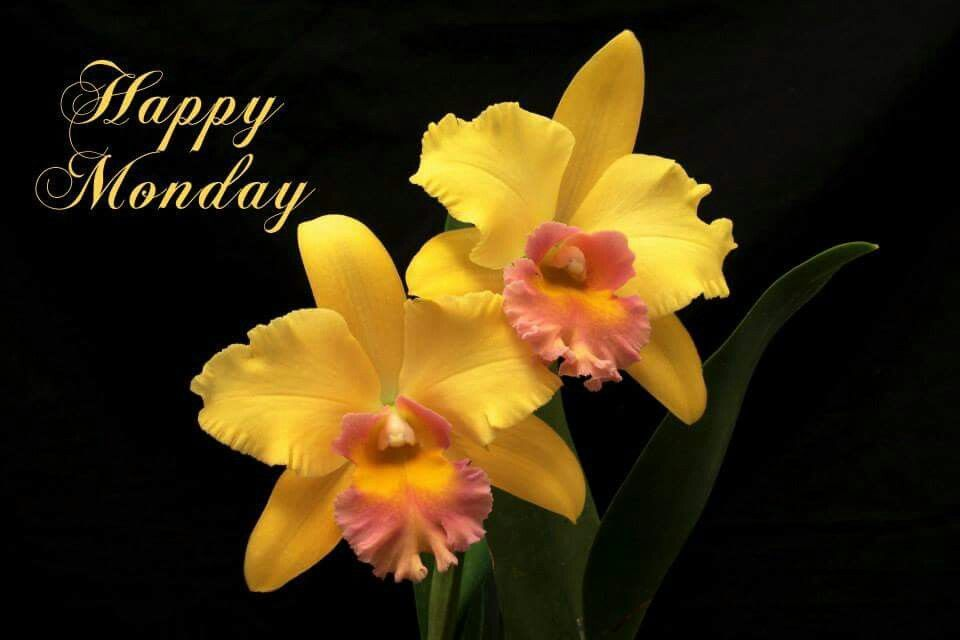 Happy Monday Orchid Flower Orchids Yellow Orchid