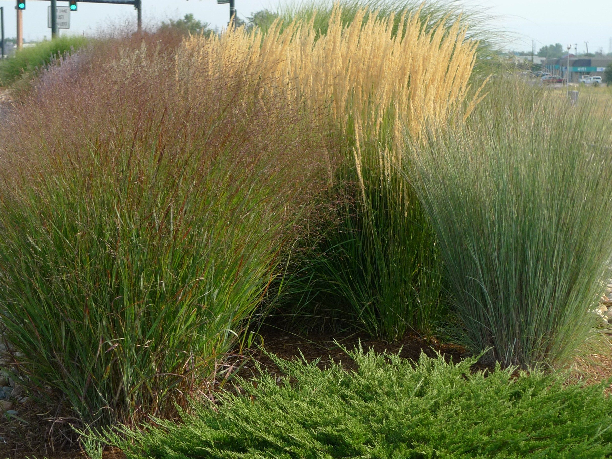 Ornamental Grasses Blossoms Blueprints Ornamental Grasses Tall Grass Landscaping Drought Tolerant Landscape