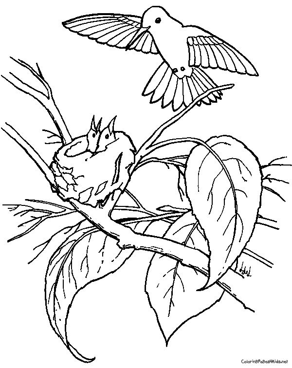 Copper Rumped Hummingbird And Its Babies Coloring Page From Hummingbirds  Category. Select From 27318 Printable Crafts Of Cartoons, Nature, Animals,  ...
