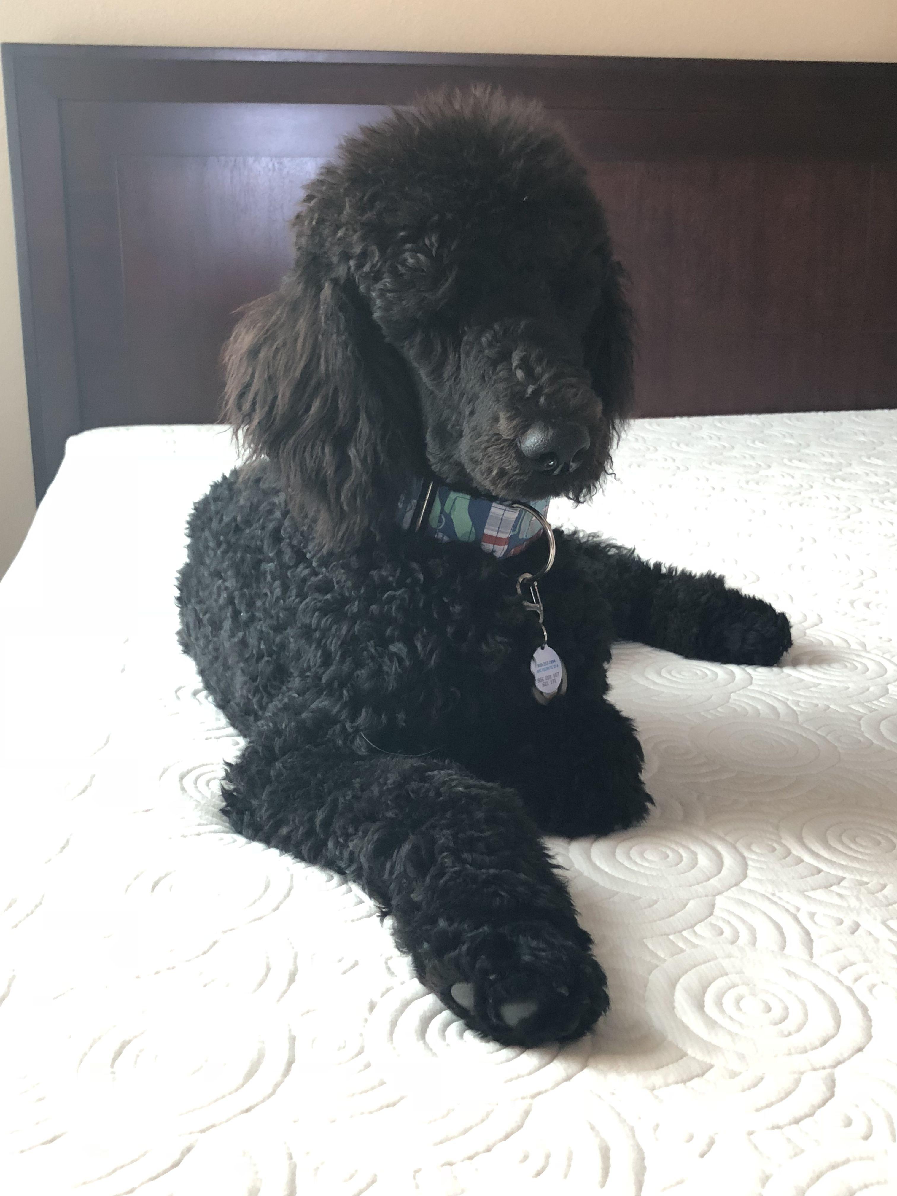 Looks Like My Charlie Poodle Standard Poodle Toy Poodle