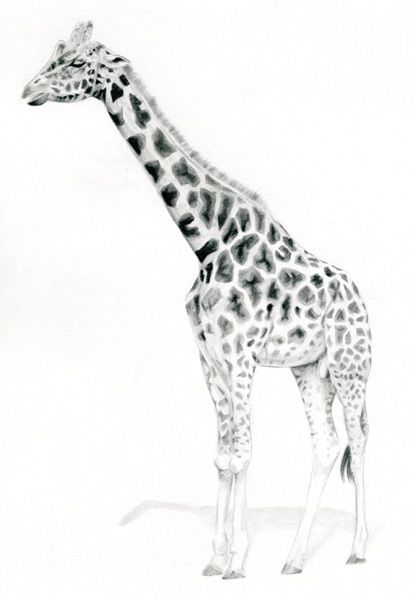 Pics For > Simple Giraffe Drawing | Giraffe drawing, Giraffe Cool Giraffe Drawing