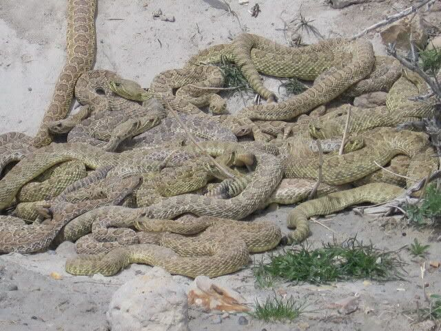 Water Moccasin Nest