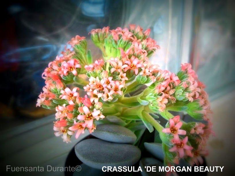PLANTAS PARA JARDINES MEDITERRÁNEOS CRASSULA DE MORGAN BEAUTY - plantas para jardin