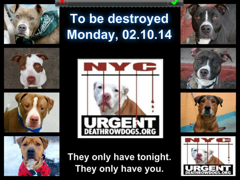 TO BE DESTROYED 02/10/14! PITTIES ARE IN DANGER!!! PLEASE TAKE A MOMENT AND DO SOMETHING TO SAVE THEM! WE ARE THEIR LAST HOPE! THEY ALL COUNT ON US!!! LET'S NOT LET THEM DOWN! https://www.facebook.com/photo.php?fbid=755393957806819&set=a.611290788883804.1073741851.152876678058553&type=3&theater