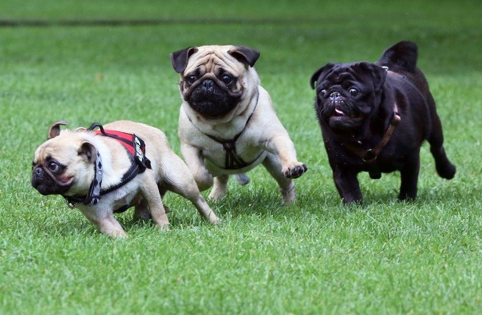 Go Pugs Pugs Funny Cute Pugs Pugs