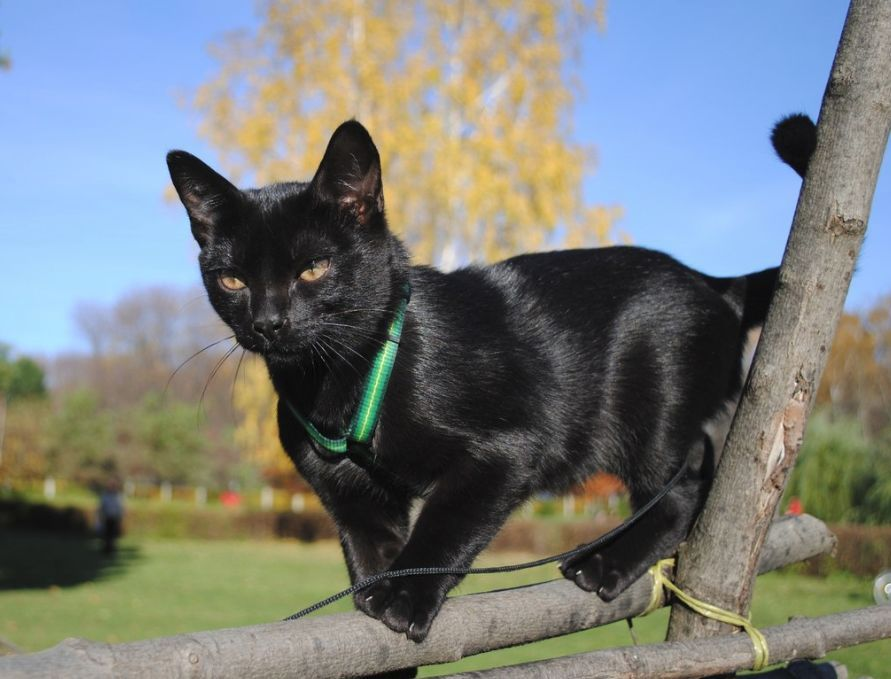Pin on Bombay Cat