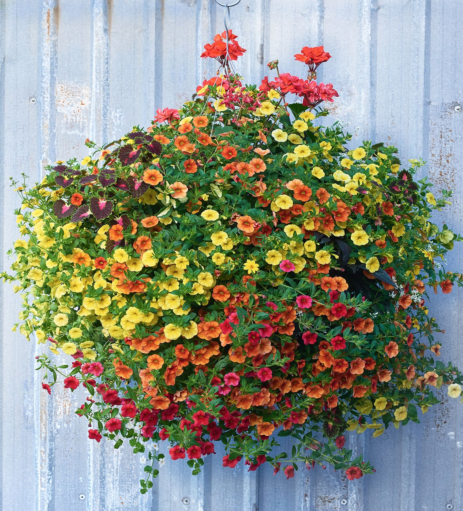 This Vibrant Full Sun Moss Hanging Basket Boasts Rich Colours Of Orange Yellow And Splashes Of R Hanging Plants Outdoor Hanging Baskets Hanging Flower Baskets