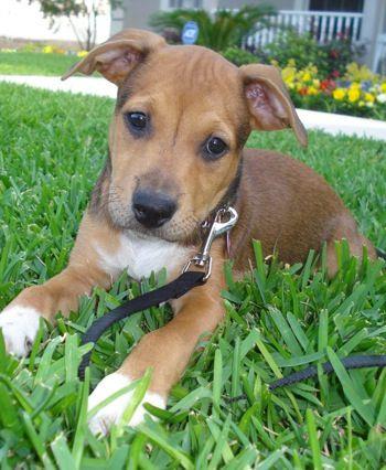 American Bulldog Rottweiler Mix American Bullweiler Puppy