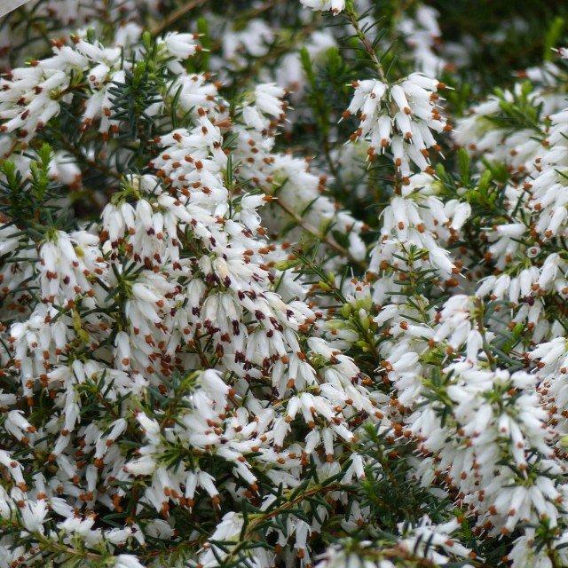 Erica Carnea Springwood White Bruyere Des Neiges A Fleurs Blanches Fleurs Blanches Fleurs Bruyeres