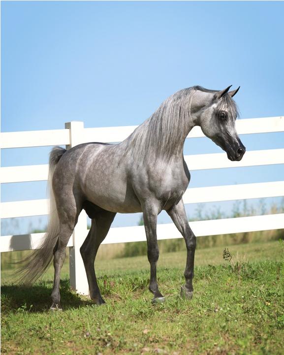 Arabhorse.com - Baahir El Marwan - Argent Farms - Arabian Horse