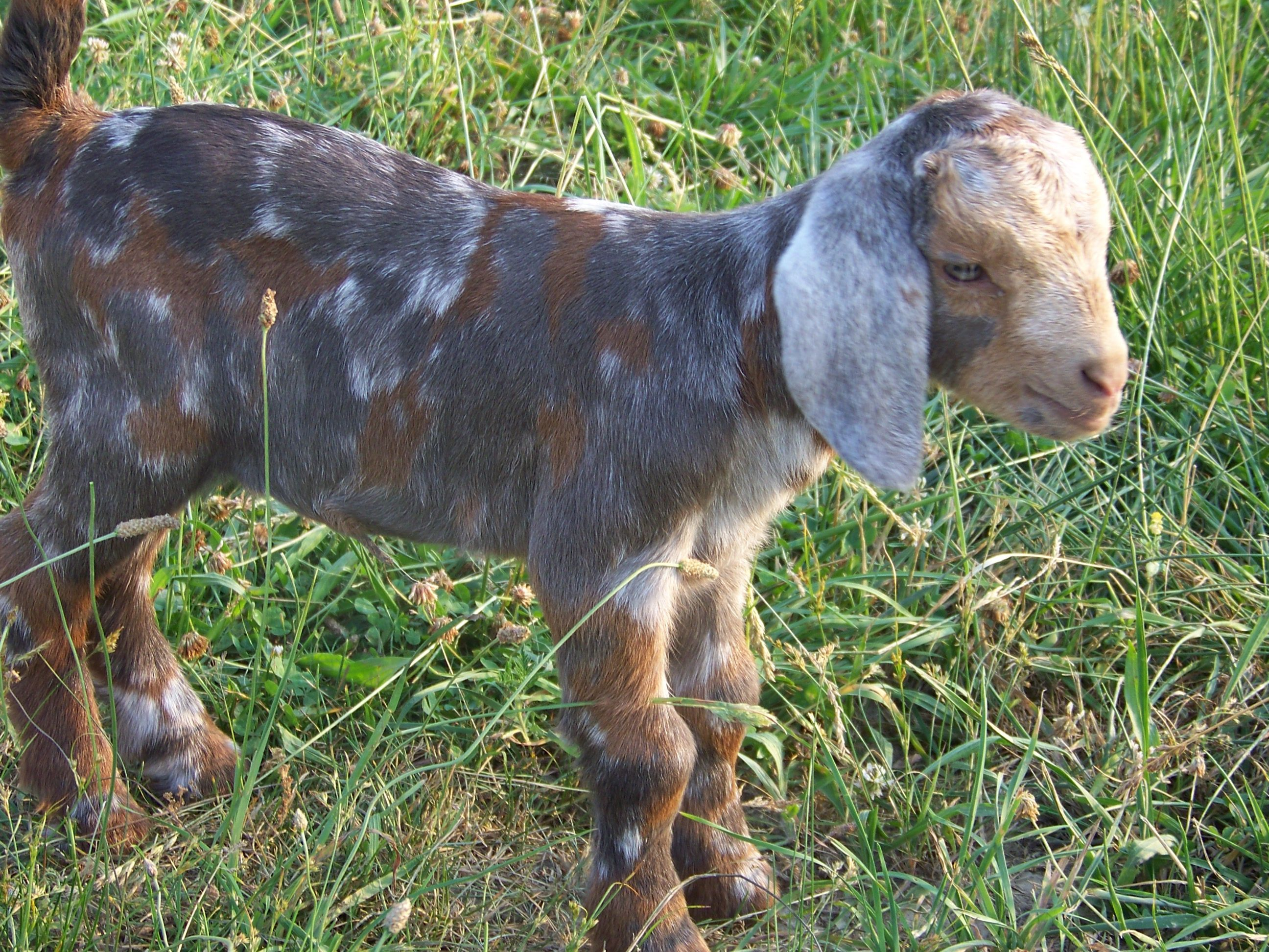 image detail for red boer goats at triple holler boer goats