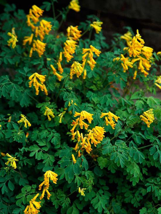Yellow Corydalis  This hard-working perennial takes the prize for being the longest bloomer in the shade garden. Enjoy its clusters of yellow flowers from late spring all the way to frost. It's not just the flowers that are beautiful; the gray-green leaves are attractive as well. The plant grows about 12 inches tall and is hardy in Zones 5-8.