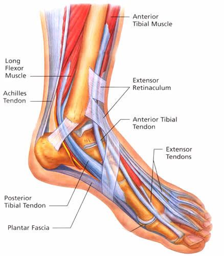 Foot Tendon Diagram.Tendons In The Foot Tendonitis Remember To Stretch Feet