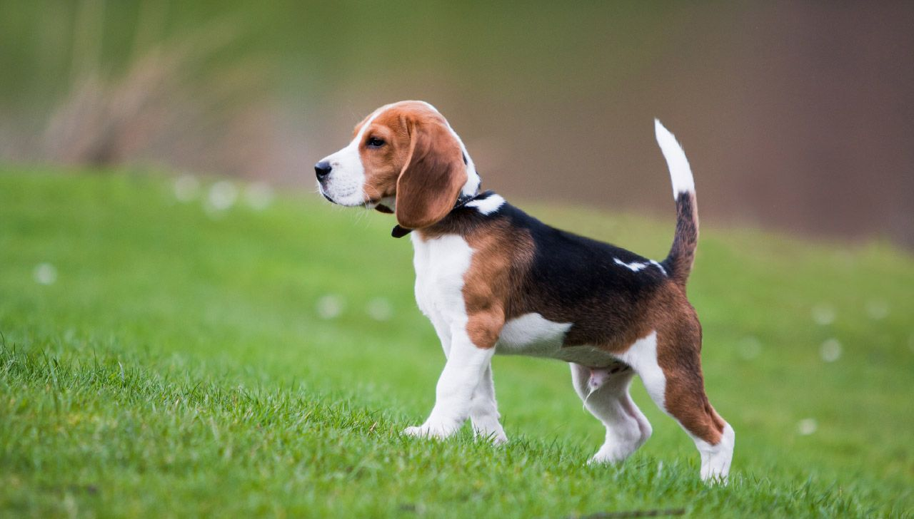 The Best Dog Breed For Each State Beagle Dog Breed Beagle Puppy