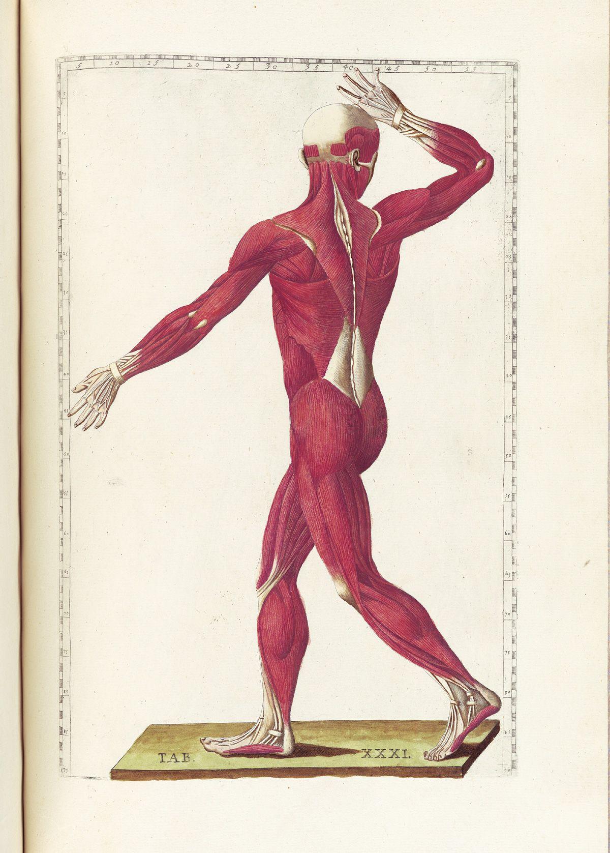 Musculature From Bartholomeo Eustachi S Tabulae
