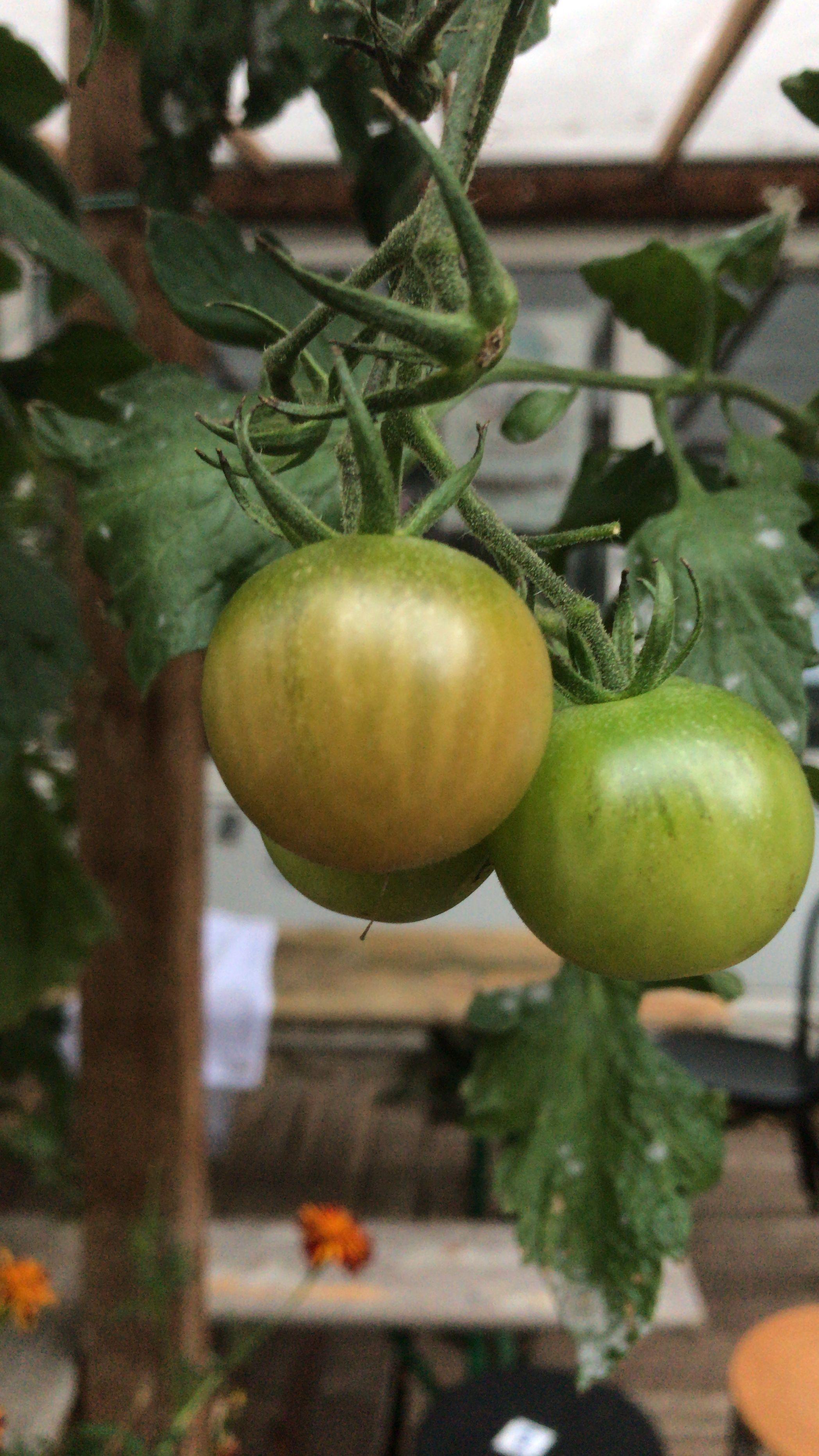 Wie Werden Grüne Tomaten Rot