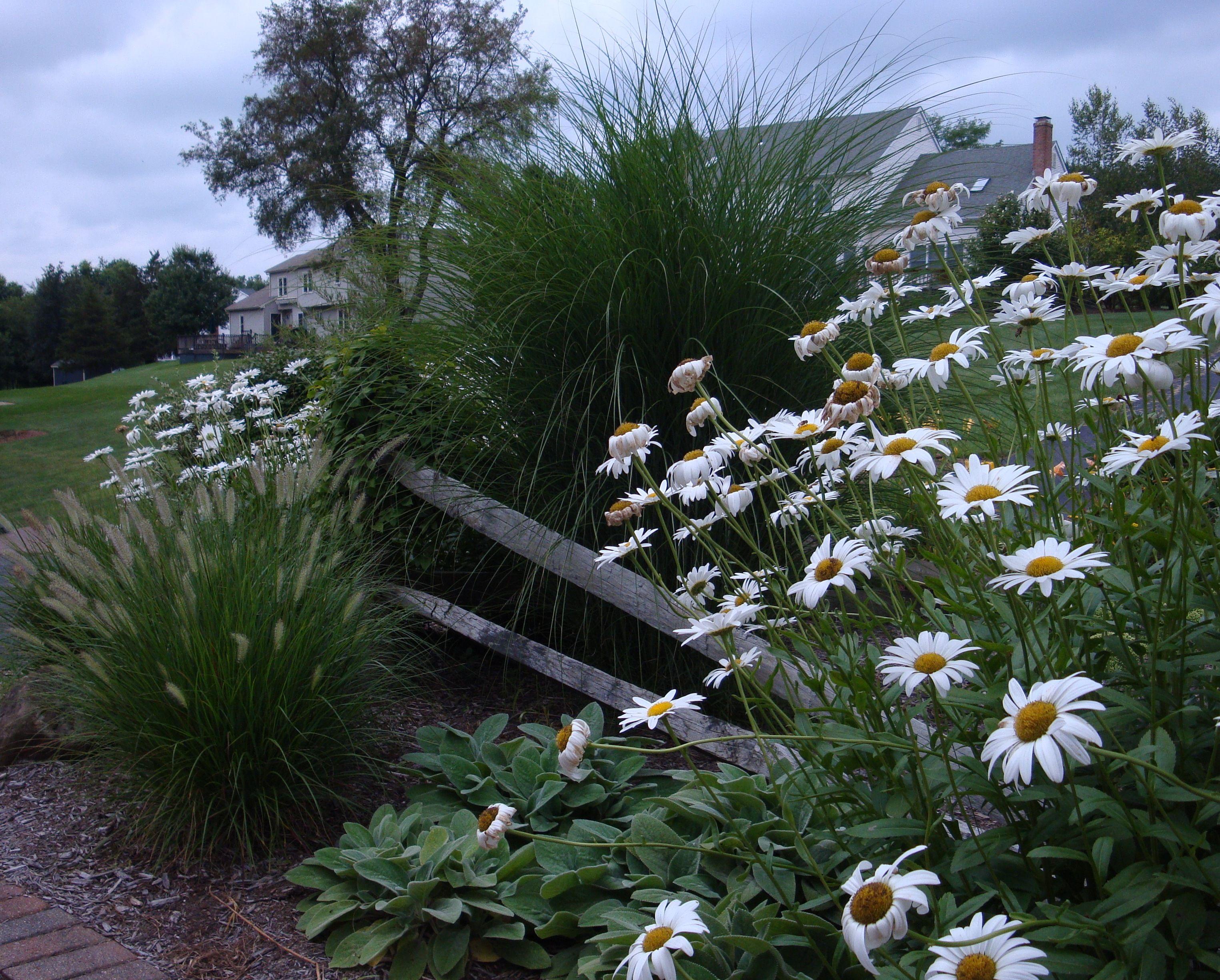Maiden grass dwarf fountain grass 39 becky 39 daisy lamb 39 s for Maiden fountain grass