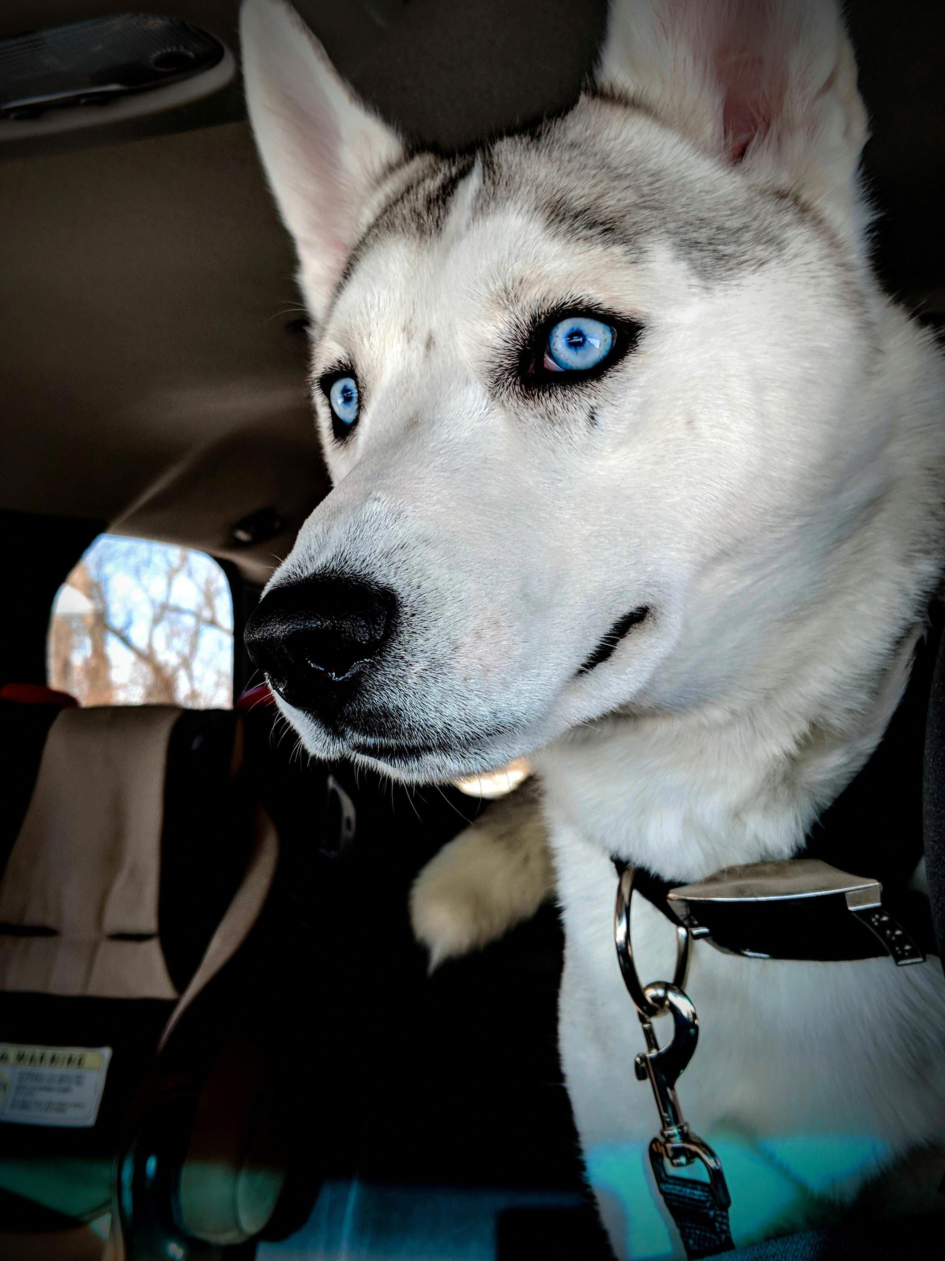 Pin On Siberian Husky